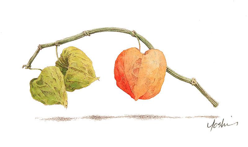 ホオズキ水彩画イラスト 乾燥したホオズキ一枝が描かれた植物水彩画イラスト