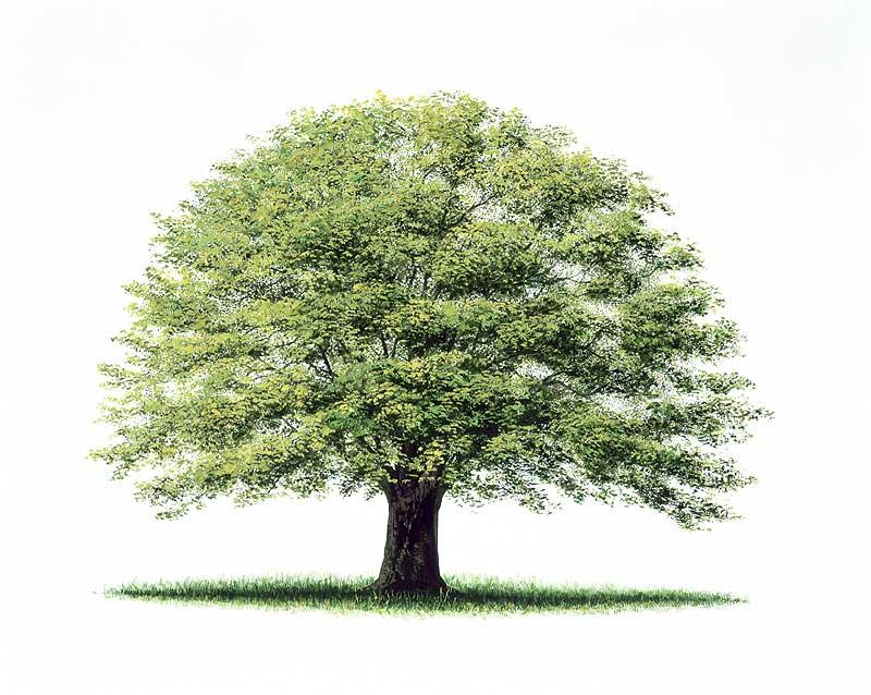 小谷晃司 一本の木のイラスト 新緑のけやきイラスト