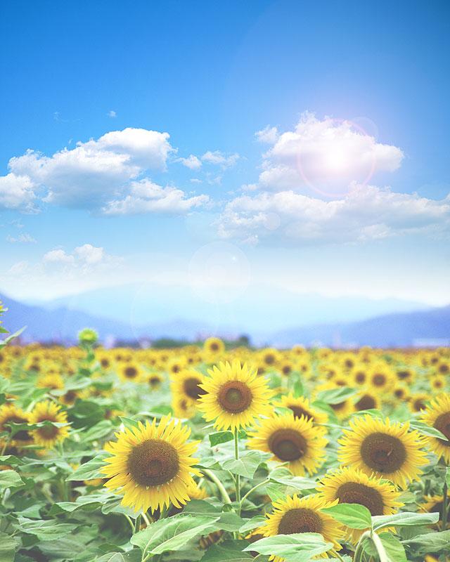 夏の背景素材 ひまわりと青空 イメージイラスト