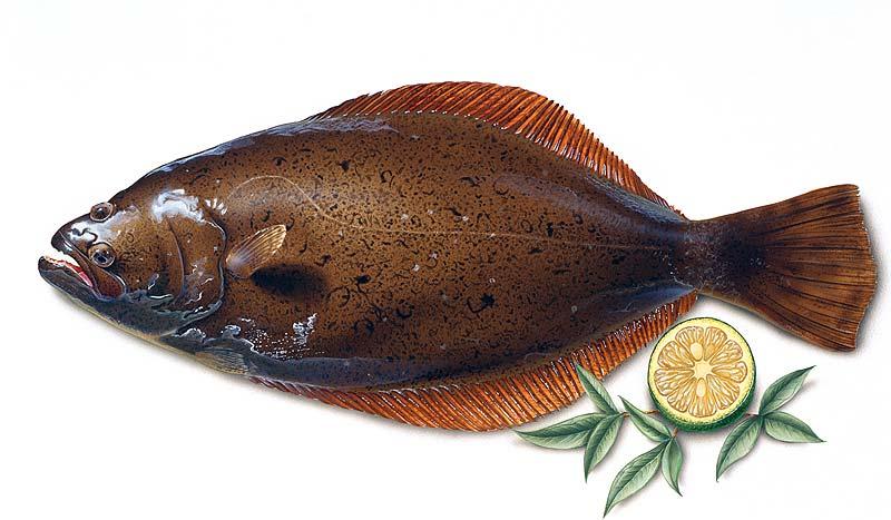 高橋いらすとるうむ 新鮮食材魚介類、リアルなヒラメイラスト
